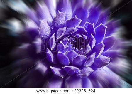 Beautiful Dark Purple Succulent With Zoom Burst High Quality Stock Photo