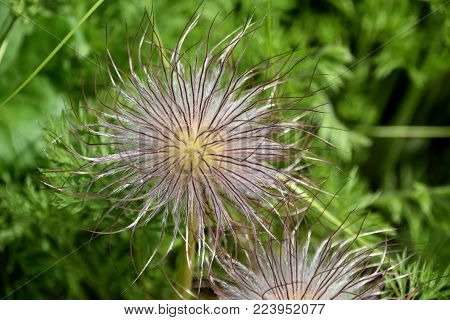 Eastern pasqueflower (Pulsatilla pratensis (L.) Mill.) ripe seed heads in the summer botanical garden