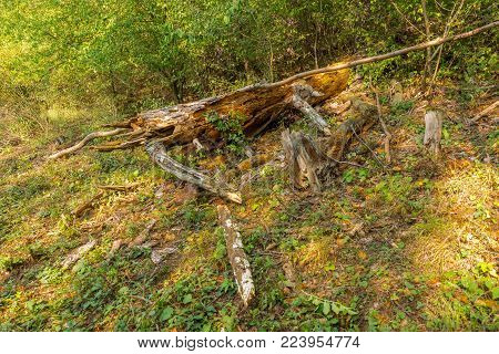 Felled tree in forest, dead plant, timber trunk.