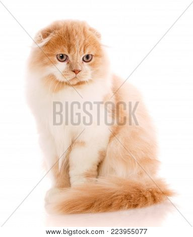 Beautiful, purebred cat. Redhead kitten - portrait of Scottish cat siting on a white background