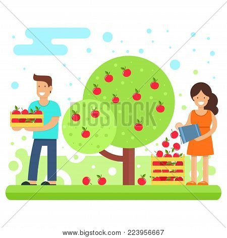 A happy family collects apple crops. Father and mother are collecting apples in the garden. Vector illustration. Joint work makes the family a solid and cohesive one.