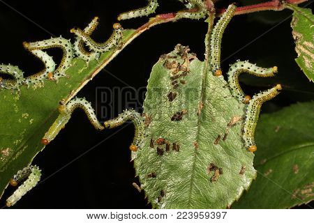 Sawflies are the insects of the suborder Symphyta within the order Hymenoptera alongside ants, bees and wasps. The common name comes from the saw-like appearance of the ovipositor, which the females use to cut into the plants where they lay their eggs.