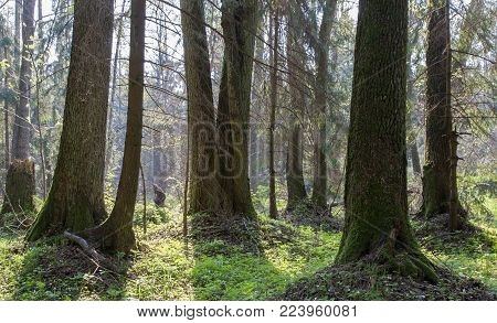 Springtime At Natural Forest With Fresh Green Pants Around, Bialowieza Forest, Poland, Europe
