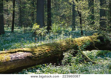Partly Declined Dead Tree Lying Among Blooming Wood Anemone (buttercap Family), Bialowieza Forest, P