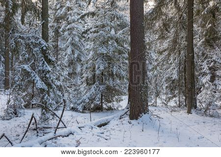 Winter Landscape Of Coniferous Stand In Sunset Light With Young Spruces Snow Wrapped,bialowieza Fore