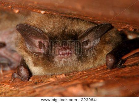 Little Brown Bat With Huge Ears