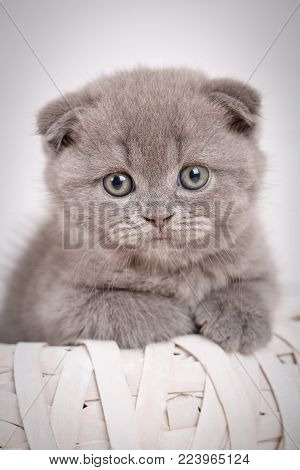 Portrait of a gray Scottish kitten with blue eyes. Cute cat at home. Lop-eared kitten