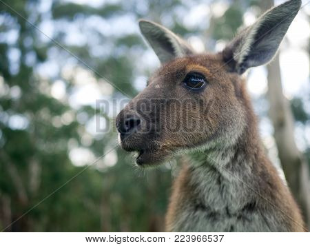 Close up photograph of Kangaroo, Australian Icon