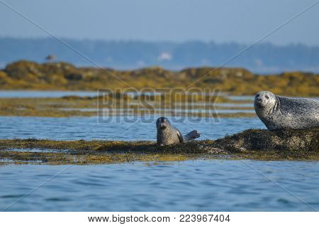 Absolutely adorable mother and baby harbor seal pup in Casco Bay Maine.