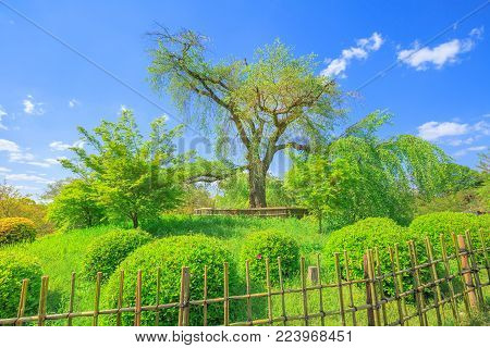 A large shidarezakura or weeping cherry tree at the center of Maruyama Park, the Kyoto's most famous cherry-blossom viewing hanami spot. Spring season, blue sky. Higashiyama District in Kyoto, Japan.
