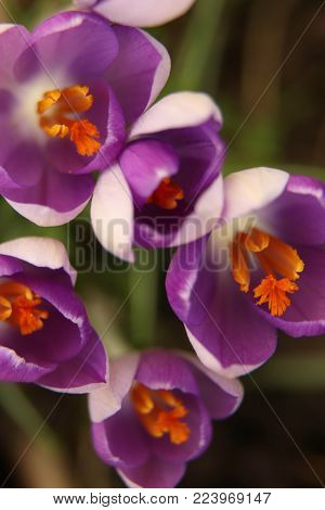 Macro shot of springy crocuses in colorful color