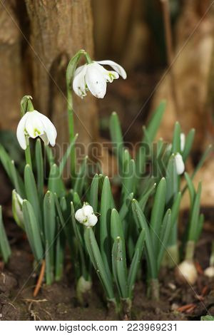 Snowdrops in the shade of a hazel