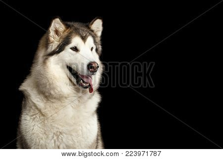 Portrait of Obedient Alaskan Malamute Dog, isolated on Black Background, front view