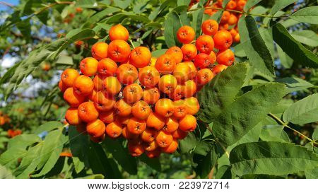 Branches of mountain ash or rowan with bright orange berries