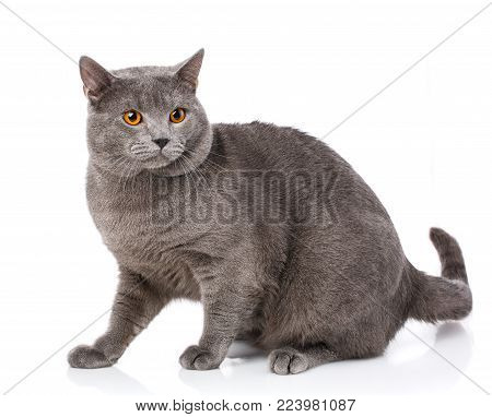 Animal, Cat, Pet Concept - Chartreux Cat On A White Background
