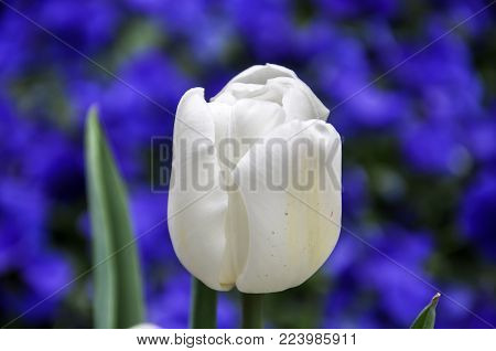 Isolated White Tulip On Blurred Bed Of Blue Pansies Flowers, Contrast Of Blue And White