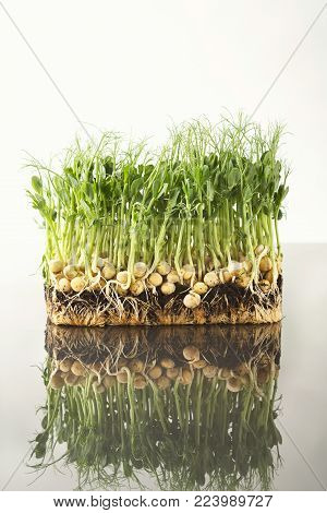 Fresh micro greens closeup isolated at white background reflecting in glass table. Growing peas sprouts for healthy salad. Eating right, stay young and modern restaurant cuisine concept