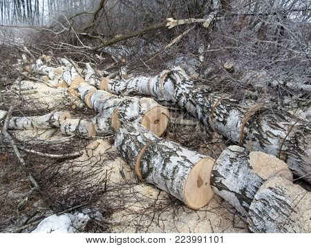 The birch is sawn into many parts and lies in the forest among twigs, sawdust and snow in winter. The concept of fuelwood for heating