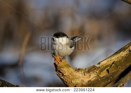 Willow tit (Poecile montanus) sits on a snag at dawn on a soft background.