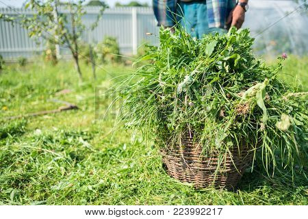 Cut grass are in a basket, scythe, mow grass with a hand tool, handmade, outdated method, countryside, copy space, Ukraine