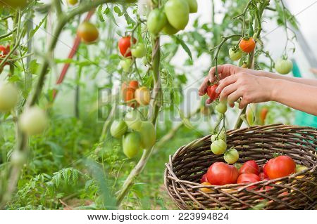 woman's hands harvesting fresh organic tomatoes in her garden on a sunny day.Farmer Picking Tomatoes. Vegetable Growing. Gardening concept
