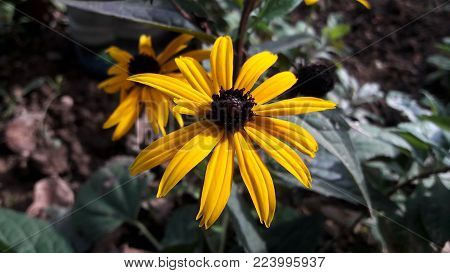 Yellow Black eyed Susan flower Rudbeckia hirta, with dark brown pestle in flower garden of Black eyed Susan in front of autumn leaves