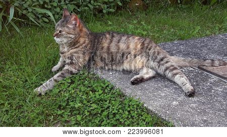 Gray tiger cat laying half on the green spring grass and half on concrete with a satisfying look in her eyes
