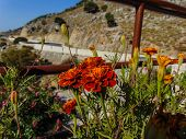 Beautiful flowers nearby the Imbros Gorge, Greece poster