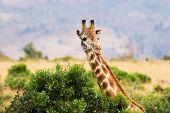 Giraffe and bush at Masai Mara, Kenya poster