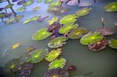 Colourful lily pad's on a pond with fish poster