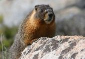 Yellow-bellied Marmot on guard in Yosemite National Park poster