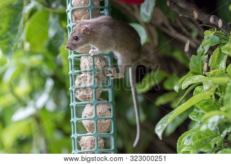 Young Rat Or Mouse Stealing Food From Garden Bird Feeder. Cute Wildlife Or Vermin Pest. Fat Balls At