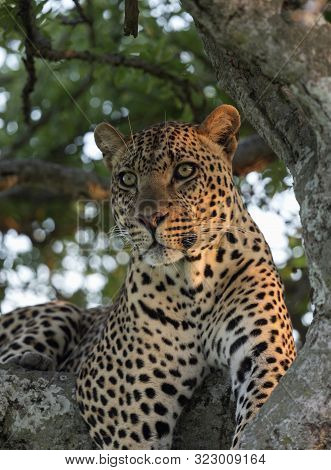 Male Leopard Sitting On A Tree At Masaimara In Africa