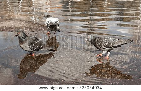 Urban Pigeons Peck Bread Crumbs From Puddle, In Which Its Reflection And The Reflection Of Clouds Ar