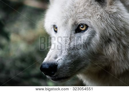 Portrait Of A White Wolf With A Predatory Look.