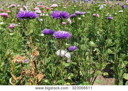 Florescence Of Violet And Pink China Asters In The Garden