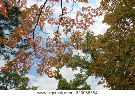 Japan  Maple Leaves  Are Beginning To Change Colour As Orange-red  In Front Of The Tree.