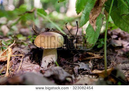 Boletus Mushroom In The Wild. Porcini Mushroom Grows On The Forest Floor At Autumn Season..