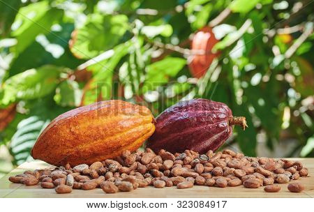 Cacao Agriculture  Farm Theme. One Yellow Cocoa Pod Close Up View