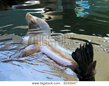 Sea lion seal relaxing in the water poster