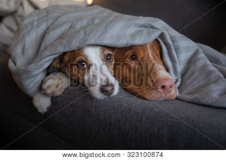 Two Dogs Are Under The Blanket. Sweet Pets Nose. Nova Scotia Duck Tolling Retriever And Jack Russell