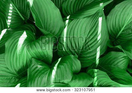 Green Hosta Plants. Hosta Plants In The Morning. Sunlit Hosta Plant On A Hot Summers Day. Landscape