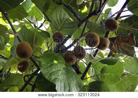 Kiwi Fruits On Tree Branches, Subtropics, Summer Fruits