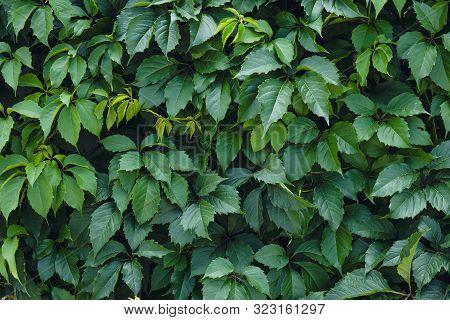 Leaf Natural Pattern, Texture. Ampelopsis Parthenocissus Planch. Vitis, Quinquefolia Creeper Vine. B