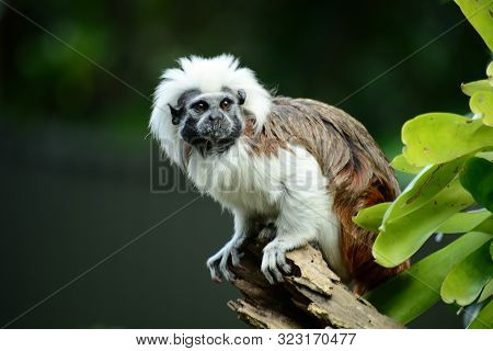 Portrait Of A Cotton-top Tamarin (saguinus Oedipus) A Critically Endangered Species From The Tropica