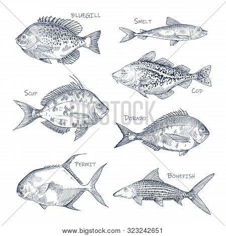 Seafood Sketch Or Set Of Isolated Hand Drawn Fish. Bluegill And Smelt, Dorado Or Mahi-mahi, Atlantic