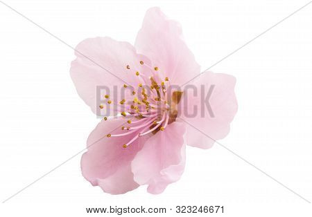 Cherry Blossom, Sakura Flowers Isolated On White Background