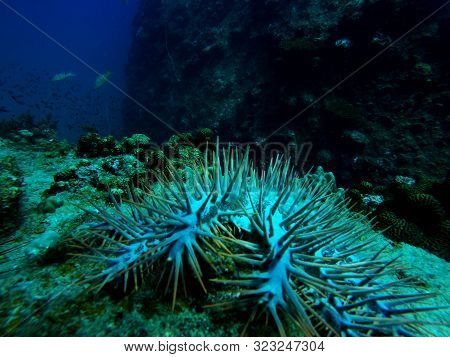 Close Up Of The Spines From A Crown-of-thorns Seastar, Acanthaster Planci, In A Coral Reef
