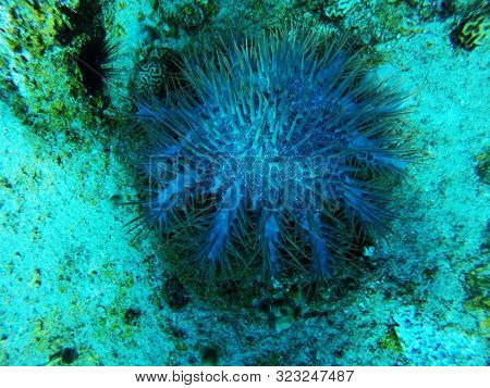 Crown Of Thorns Seastar, Acanthaster Planci, Eating Or Preying Upon Coral In A Coral Reef