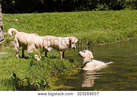 Sweet Golden Retriever Dogs Play And Enjoy The Water Together Outdoor, Next To A Little Pond, Surrou